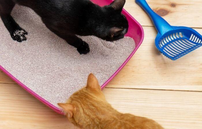 les chats peuvent devenir territoriaux à propos de leur litière si un nouveau chat est introduit