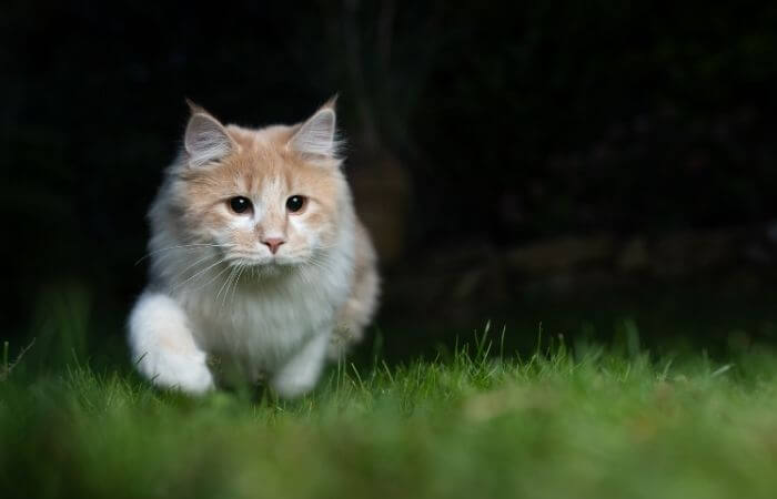 chat chassant la nuit