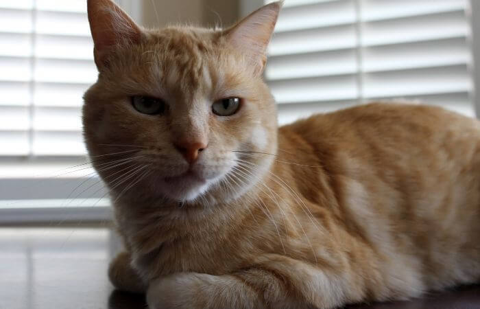 chat flânant avec patte blessée