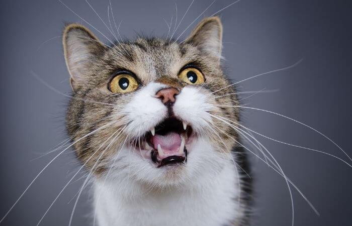 les chats utilisent la vocalisation pour obtenir ce qu'ils veulent