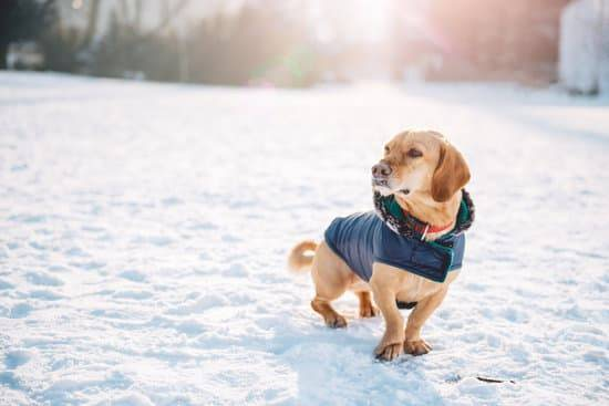 Engelures chez les chiens